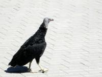 Kondor na procházce...