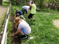 Vytrháváme plevel, přesazujeme ředkvičky.