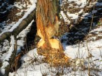 Stromy s typickými okusy ve tvaru přesýpacích hodin.